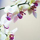 orchid by Katie Hoisington