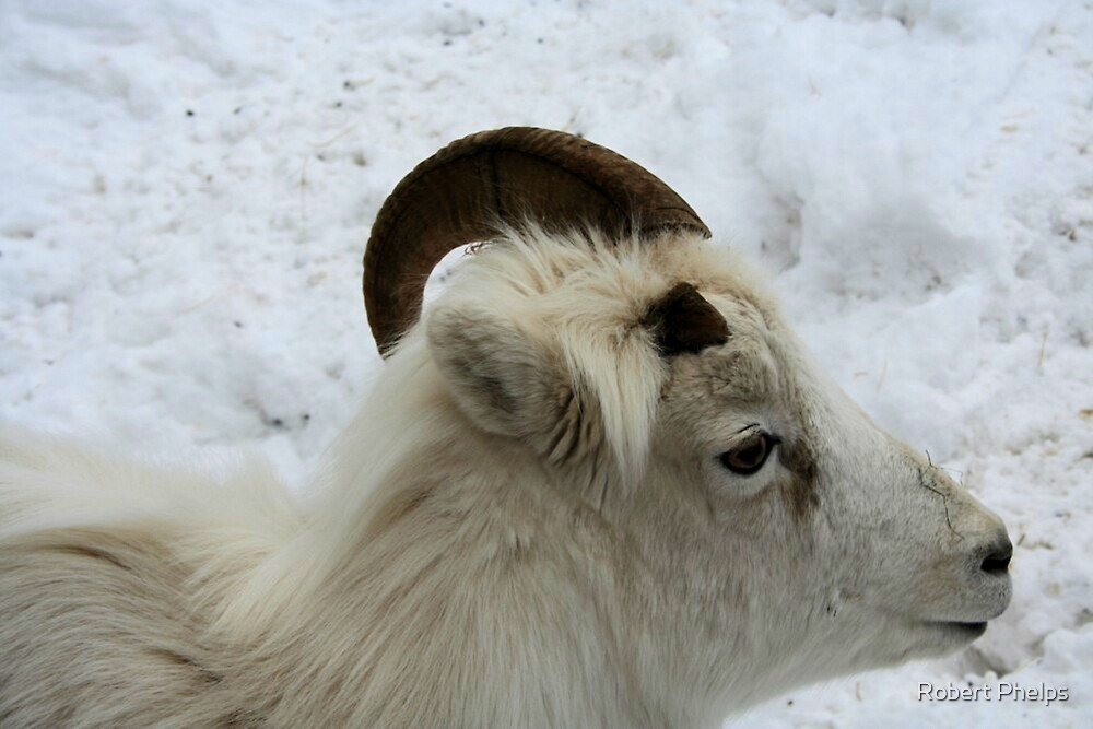 Dall Sheep profile by Robert Phelps