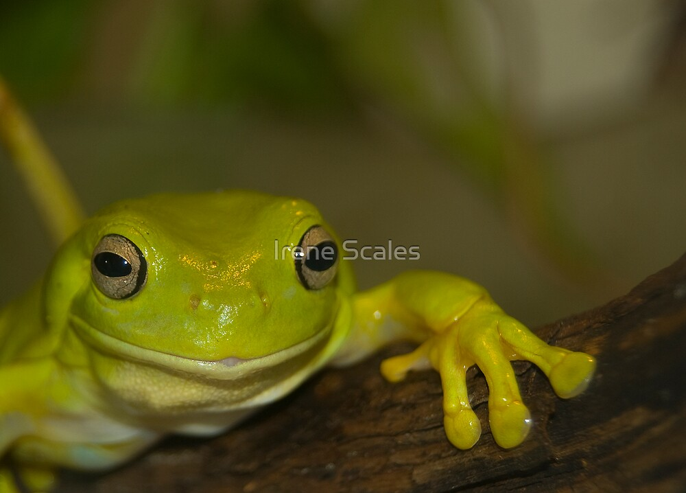 Bert the Australian Tree Frog by Irene Scales
