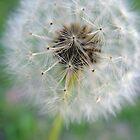 Dandelion by Renae