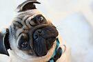 Pug Dog Portrait by Katie Lancaster