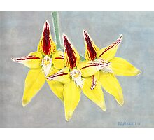 Cowslip Orchid (Caladenia flava) Photographic Print