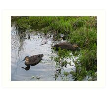 Ducks. Regular visitors. Art Print