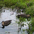 Ducks. Regular visitors. by Northcote Community  Gardens