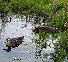 Ducks. Regular visitors. by Northcote Community  Gardens