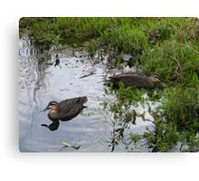 Ducks. Regular visitors. Canvas Print