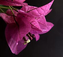 Bougainvillea by Martie Venter