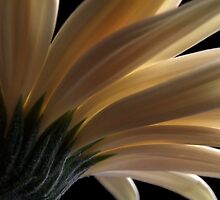 Cream Gerber Daisy from Below  by Martie Venter