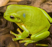 green tree frog with blue dot by Will Russell-Smith