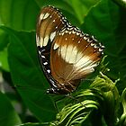 Common Eggfly Butterfly by Margot Kiesskalt