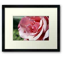 Pink - Kissed by the afternoon sun; Patricia Merz Garden, Gr. Hills, CA USA Framed Print