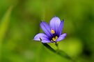 Blue-eyed Grass by Kathleen Daley
