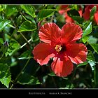 Red Hibiscus - Cool Stuff by Maria A. Barnowl