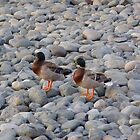 Ducks On A Stone Beach by Tim Stringer