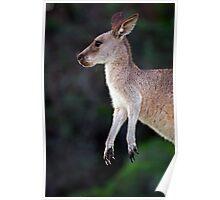 Kangaroo at Pebbly Beach Poster
