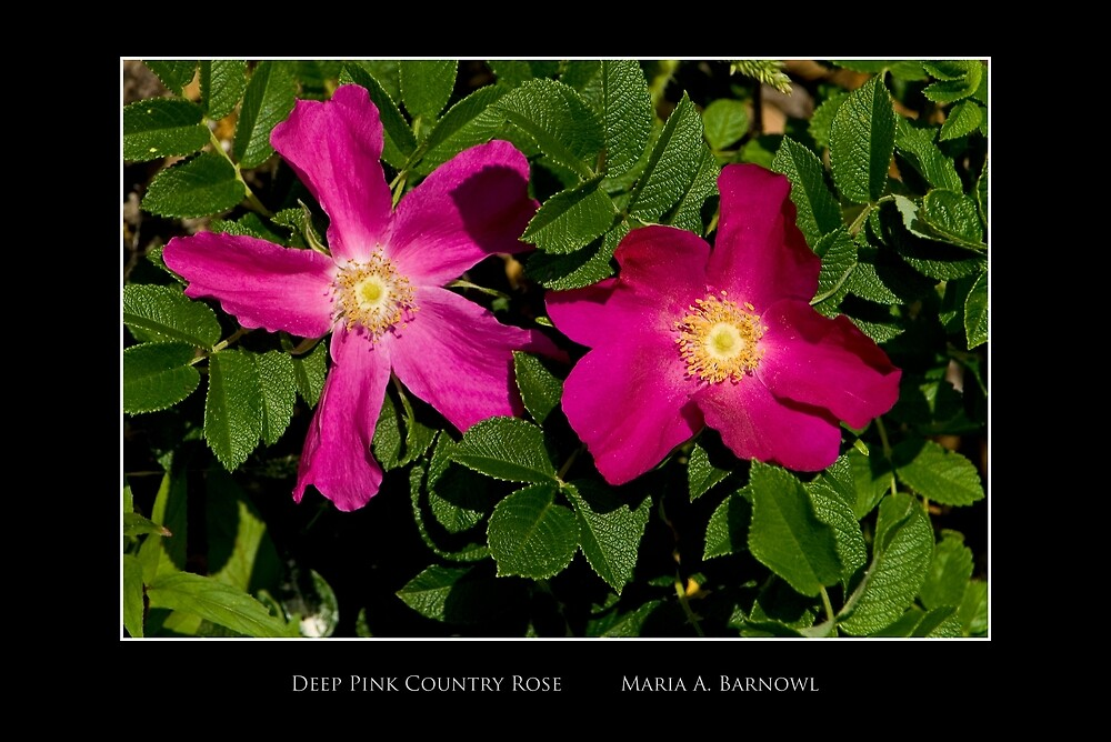 Deep Pink Country Rose - Cool Stuff by Maria A. Barnowl