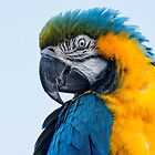 Blue - Gold Macaw by M.S. Photography/Art