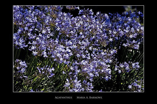 Agapanthus - Cool Stuff by Maria A. Barnowl