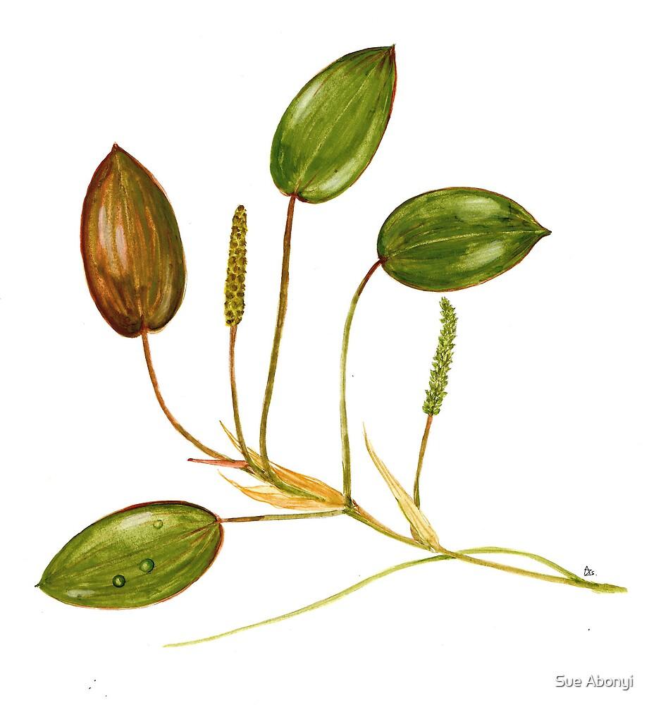 Potamogeton nutans by Sue Abonyi