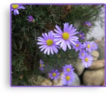 Cutleaf daisy.  _Brachyscome multifida_ Canvas Print