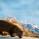 American Mink by TJ Baccari Photography