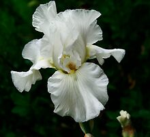 White Bearded Iris by Jan Hopgood