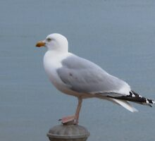 Hastings Herring Gull by Manda02