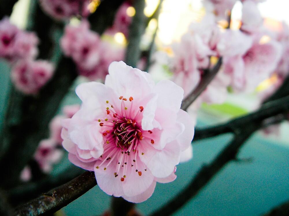 cherry blossom by camillemcd