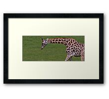 Wide Screen Giraffe Framed Print