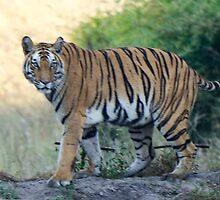Tigress Rajbehera by Pravine Chester