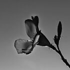 Oleander Flower Silhouette by Deborah McGrath
