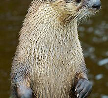 Canadian Otter by Darren Newbery