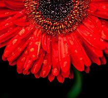 Gerbera Red  by IamPhoto
