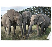 Trio of African elephants  Poster