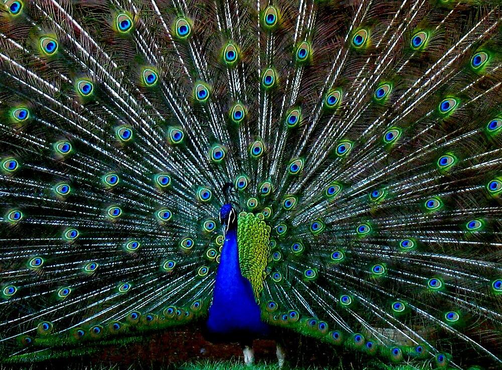 Peafowl Plumage by Chelsea Kerwath
