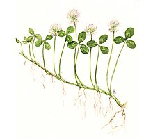 White Clover - Trifolium repens Photographic Print