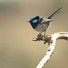Superb Fairy Wren by Wildpix