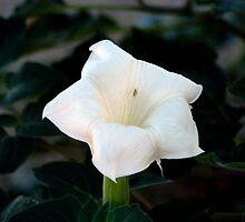 Desert Lily by Andrew Benton