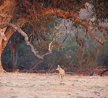 Coyote Under Mother Euc by Anita Donohoe