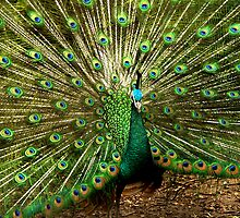 Peacock at Melbourne Zoo   by Tom Newman