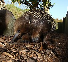Echidna by masterpiececreations