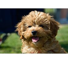 Ruby the Cavoodle Photographic Print