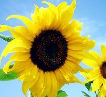 Sunflower by Tina monroe