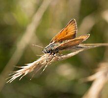 Small Skipper Butterfly by Robert Carr