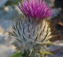 Thistle by stooferdoofer