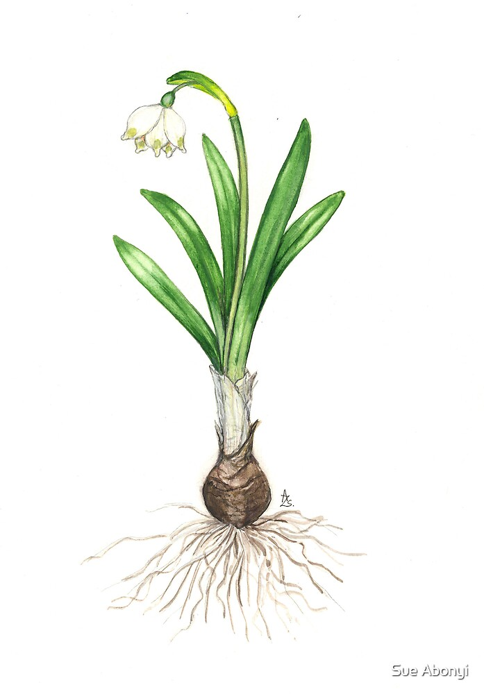 Spring Snowflake - Leucojum vernum by Sue Abonyi