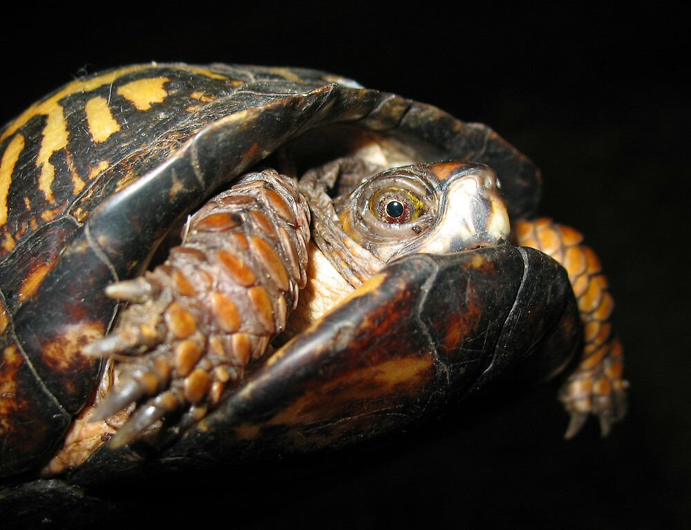 A Timid Turtle by Chelsea Kerwath