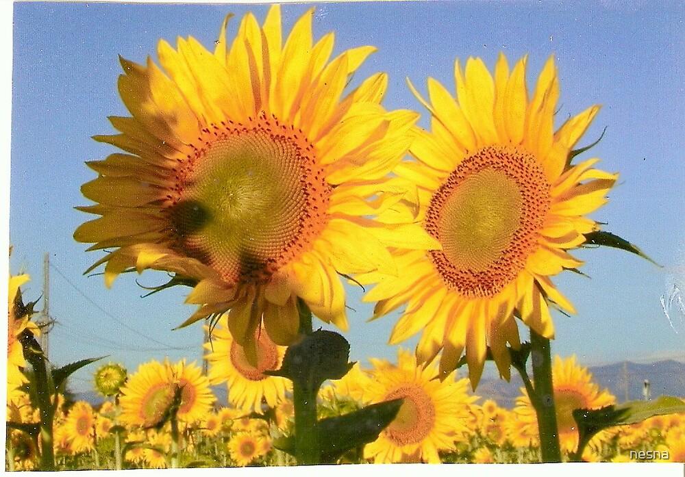 Sunflowers by nesna