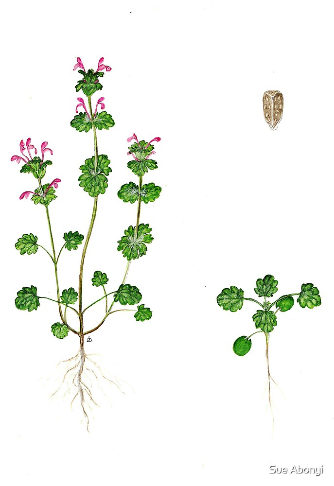 Henbit Deadnettle - Lamium amplexicaule by Sue Abonyi