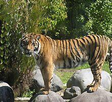 Proud Tiger by Chris Hanlon